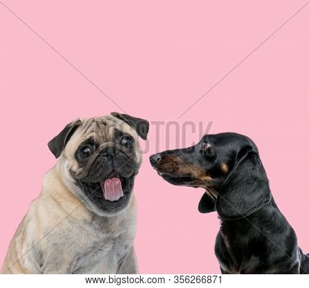 team of pug and teckel dachshund panting and sticking out tongue on pink background