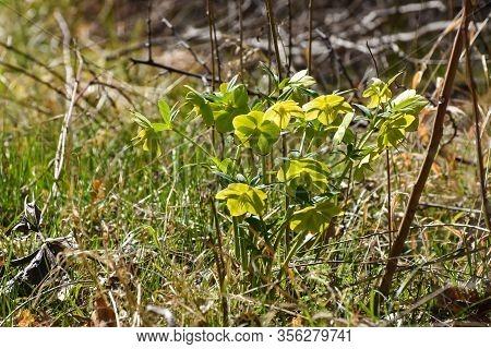 Hellebore, Christmas Rose, Helleborus Odorus, First Spring Flowers On Sunlight