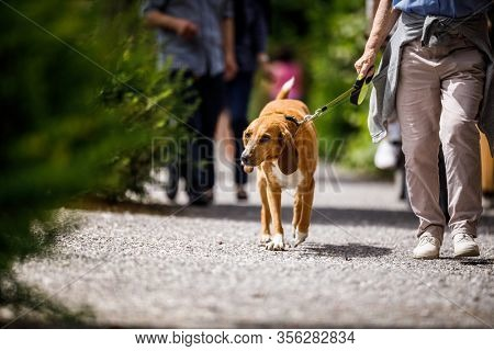 Cute old dog being walked by his master