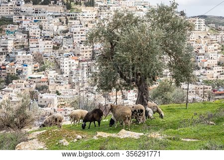 A Small Flock Of Sheep Grazes On The Gey Ben Hinnom Park Slope - Called In The Holy Books As The Bla