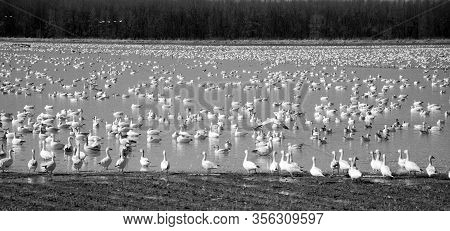 Snow Geese Migration.  During Spring Migration, Large Flocks Of Snow Geese Fly Very High Along Narro