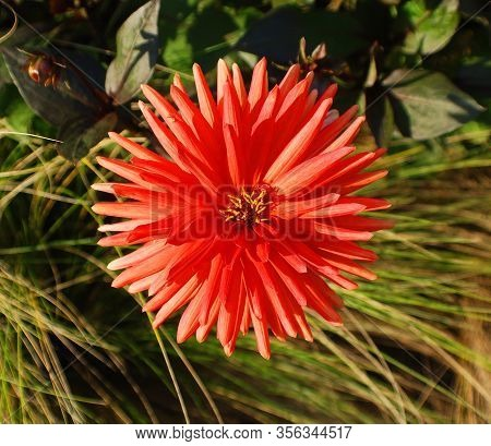Dahlia Is A Genus Of Bushy, Tuberous, Perennial Plants Native To Mexico, Central America, And Colomb