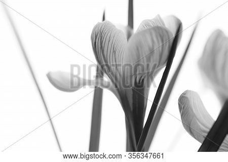 Crocus Flowers Bouquet. Side View. Bw Photo.