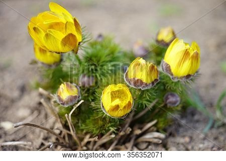 Yellow Flowers Adonis Vernalis Grow In The Garden