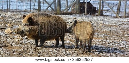 Common Wild Boar Pig. Wild Boar (sus Scrofa), Also Known As The Wild Swine Or Eurasian Wild Pig Is A