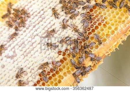 Close Up View Of Working Bees On Honeycomb With Sweet Honey..
