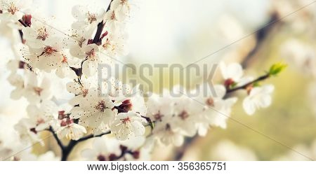 Springtime Sunny Day, Blooming White Flowers Fruit Tree Branch. Soft Light Natural Freshness Spring