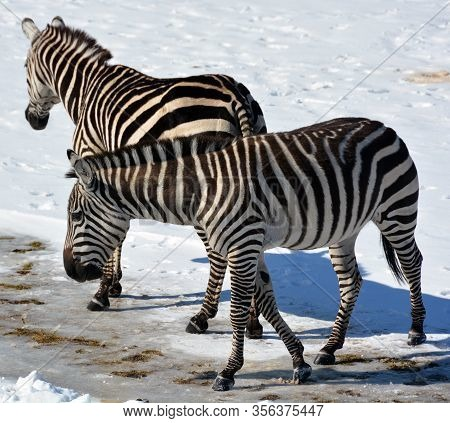 Winter Time Zebras Are Several Species Of African Equids (horse Family) United By Their Distinctive