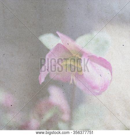 Stinking Hellebore (helleborus Foetidus) In Rain With Raindrops. Textured Stylish Old Paper Backgrou