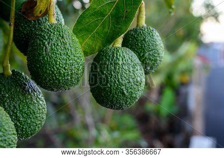 New Harvest On Avocado Trees Plantations On La Palma Island, Canary Islands, Spain, Green Ripe Avoca