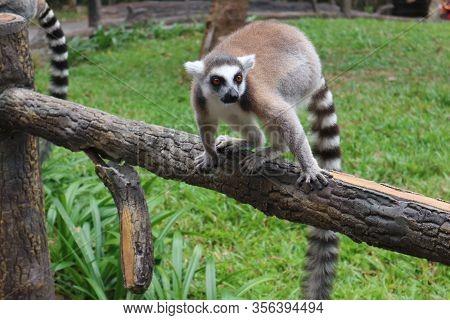 Cute, Fluffy Ring-tailed Lemur . Wild Animal Park