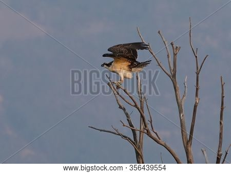 An Osprey Perched On A Barren Tree Spreads Its Wings To Fly.