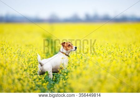 Jack russel terrier puppy on yellow rapeseed flower meadow. Happy dog outdoor