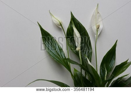 Houseplant Spathiphyllum With White Blossom Flowers On The Grey Background