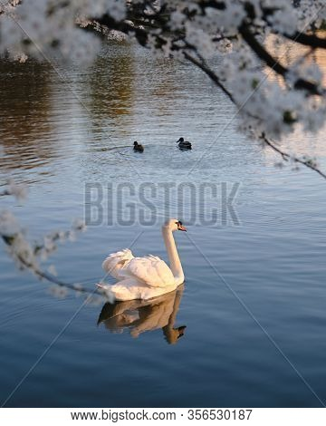 White Mute Swan With Light Shining On Its Feathers, At Sunset, Swims In Dark Blue Waters, Under Whit