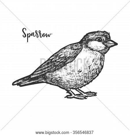 Vintage Sketch Of True Or American Sparrow