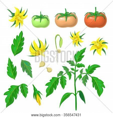 Morphology Of Healthy Tomato Plant. Parts Of Tomatoes Plant Set. Tomato Plant, Fruits Of Various Rip