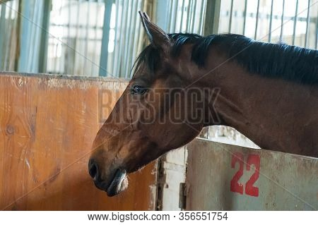 Brown Horses Standing Alone In Barn And Looking Out Away From Barn Wooden Window. Young Horses In Th