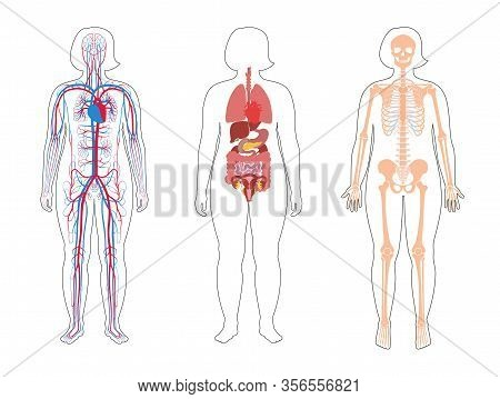 Fat Woman Skeleton, Internal Organs, Circulatory System Anatomy. Anatomical Structure Of Human Body