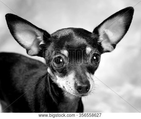 Russian Toy Terrier Puppy, Black And White