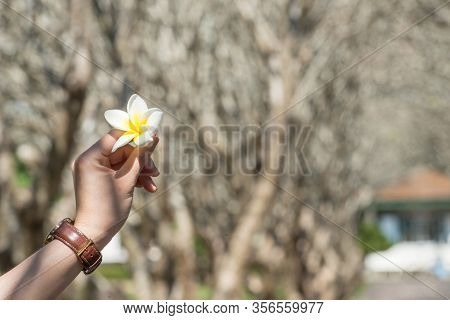 Cropped Shot View Of Woman Hand Showing Plumeria Flower Under Plumeria Tunnel In Nan Province Of Tha