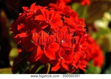 Closeup Of The Beautiful Flaming Katy Flowers