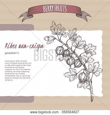Gooseberry Aka Ribes Uva-crispa Branch Sketch On Cardboard Background. Berry Fruits Series.