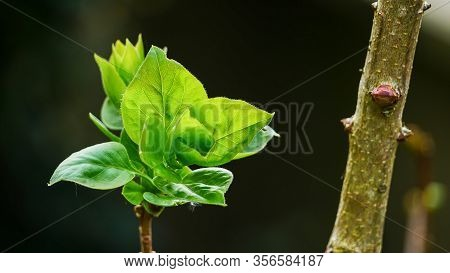 A Branch Of A Lilac Bush With Young Foliage, Green Leaf Shoots. On Dark Green Background