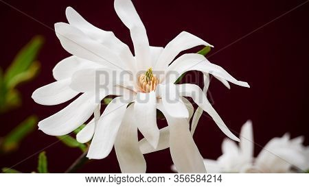 Very Fragrant White Cream Flower Double Star Magnolia Stellata In Early Spring
