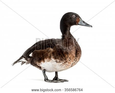 Baer's pochard spreading his wings, isolated on white