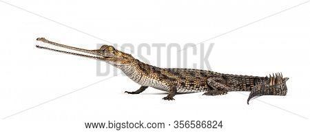 Young Fish-eating crocodile, Gavial, Gavialis gangeticus, isolated on white