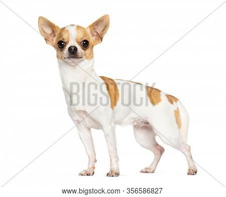 Standing Chihuahua, isolated on white