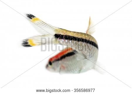Back view of a Denison barb, fish, Sahyadria denisonii, isolated on white