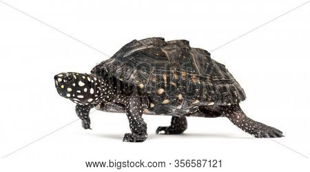 Side view of a Walking Black pond turtle, Geoclemys hamiltonii, isolated