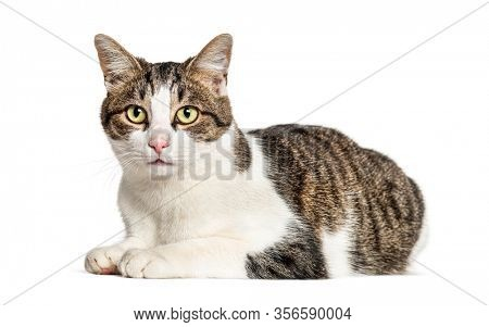Lying Crossbreed cat, isolated on white