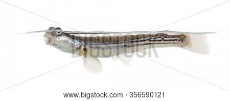 Side view of Four-eyed fish surfacing, isolated on white