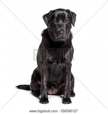 Black Labrador Retriever sitting, isolated on white