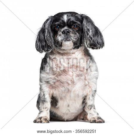 Sitting Shih Tzu dog, isolated on white