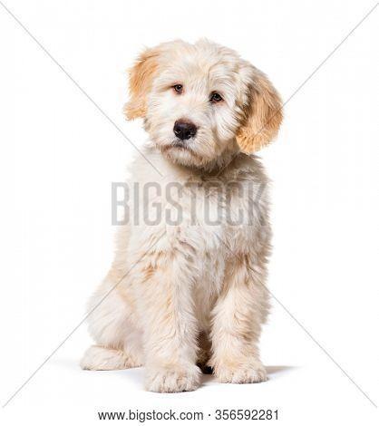 Sitting Puppy Barbado da Terceira, isolated on white