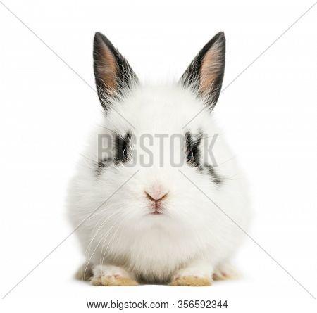 White rabbit sitting, isolated on white