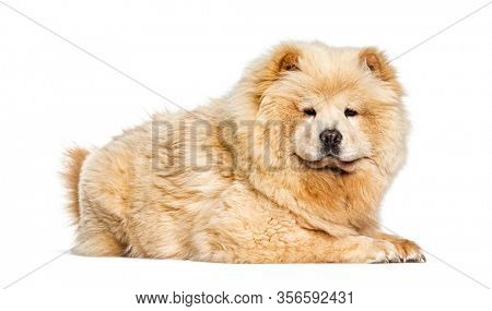 Chow Chow, isolated on white