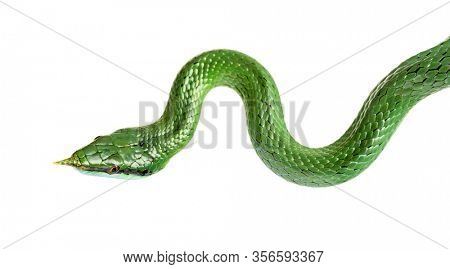 Rhino rat snake, Rhynchophis boulengeri, isolated
