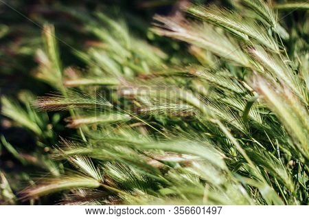 Close Up View Of Barley Spikelets Or Rye In Barley Field. Green Dried Barley Focused In Large Agricu