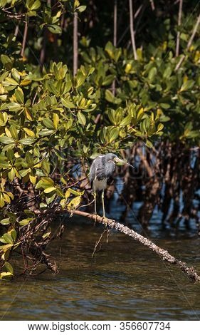 Tricolored Heron Wading Bird Egretta Tricolor Perched On The Roots Of A Mangrove Tree