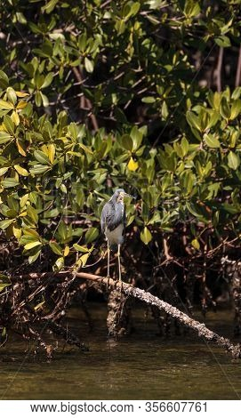 Tricolored Heron Wading Bird Egretta Tricolor Perched On The Roots Of A Mangrove Tree In The Myakka