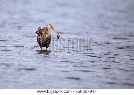 Limpkin Aramus Guarauna Wades Through A Marsh And Forages For Food