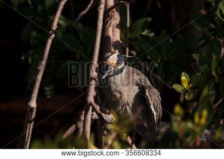 Yellow Crowned Night Heron Wading Bird Nyctanassa Violacea