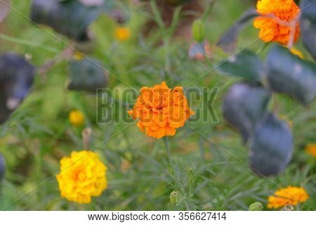 Full Blooming Marigold Flower In Farm Or Garden, Yellow Flower,marigolds (tagetes Erecta, Mexican Ma
