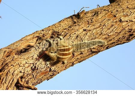 Squirrel, A Male Squirrel Resting On Tree Stems,squirrel In The Natural Environment,gray Squirrel On