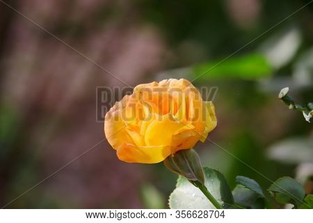 A Yellow Rose Flower Bloom On Plant In Day, Rose Flower In Nature. Yellow Rose Flower Background. Ro